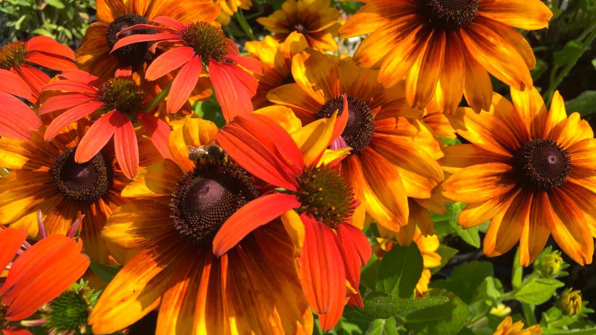 Rudbeckia-многоцветные-водные-злаковые-растения-покупка - Тоскана