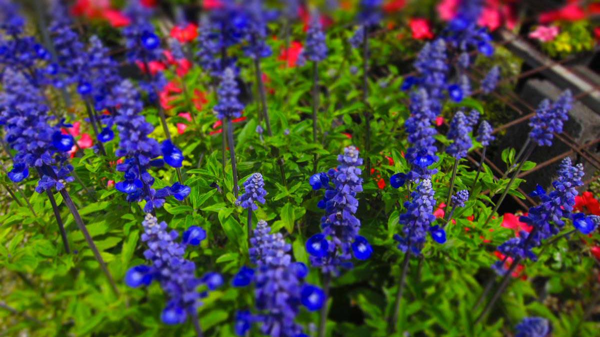 Salvia-nemorosa-многоцветные-водные-злаковые-растения-покупка-Пистойя