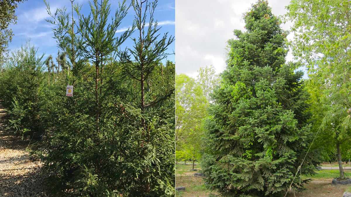 Sequoia sempervirens and Abies nordmanniana selected-plants
