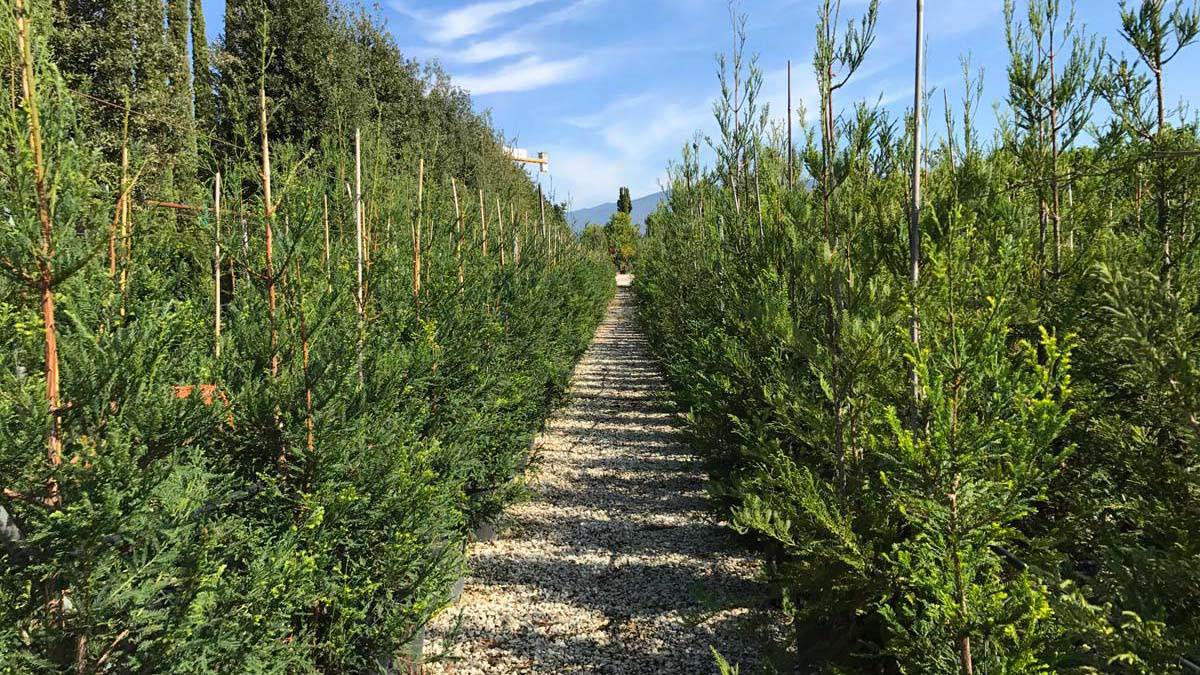 Sequoia-sempervirens-nursery-conifers-sales-Pistoia