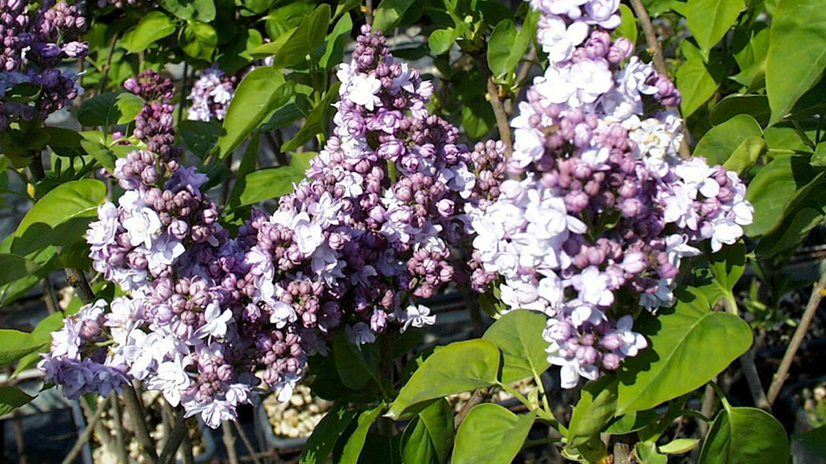 Syringa vulgaris shrubs-sales-Tuscany