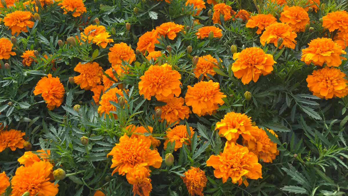 Tagetes-ornamental-plants-per-gardens-and-terraces