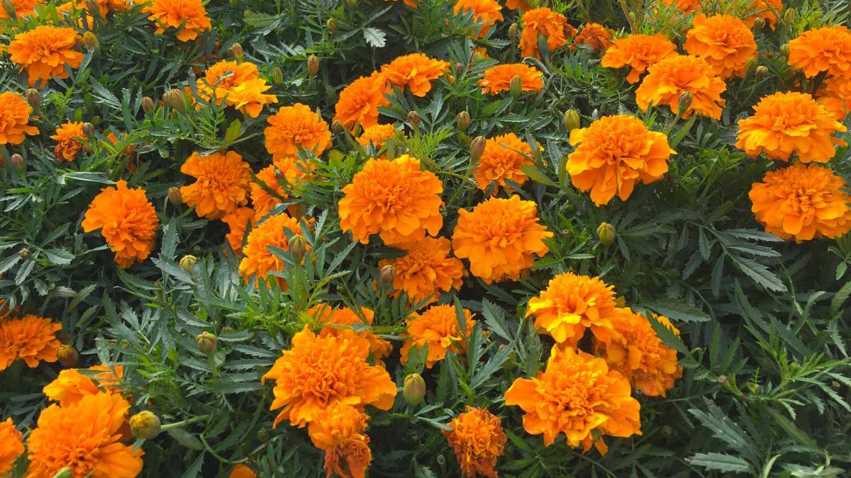 Tagetes-декоративные-растения-для-садов-и-террас