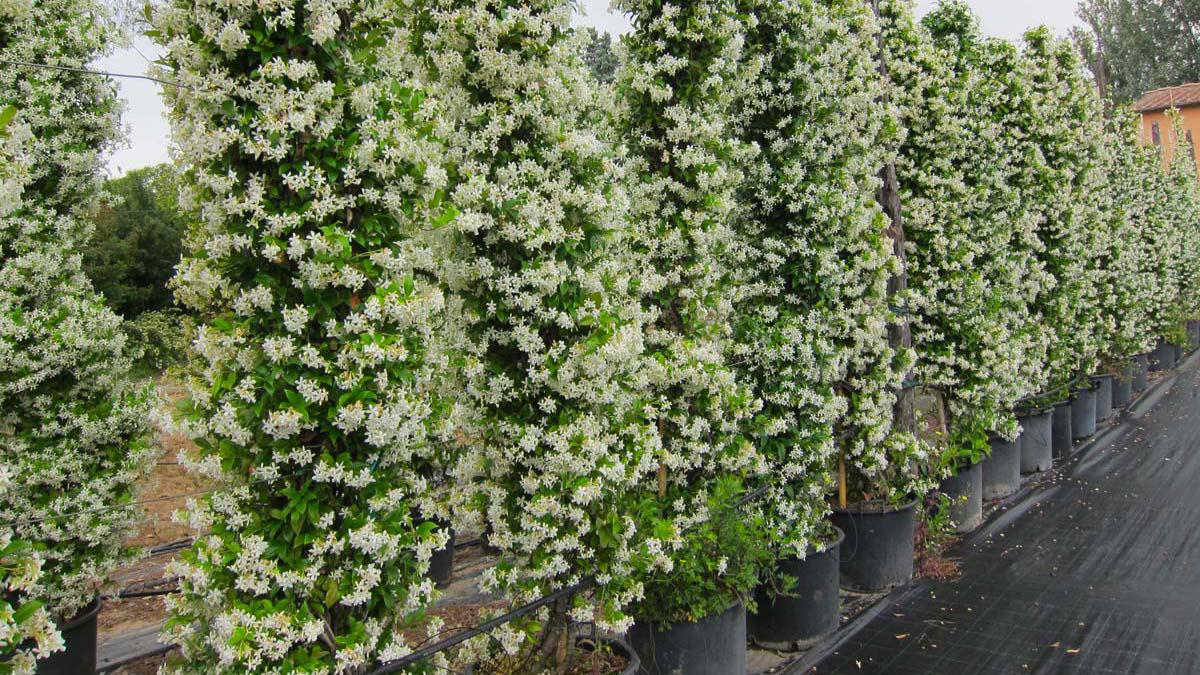 Trachelospermum-jasminoides-cultivation-Tuscany
