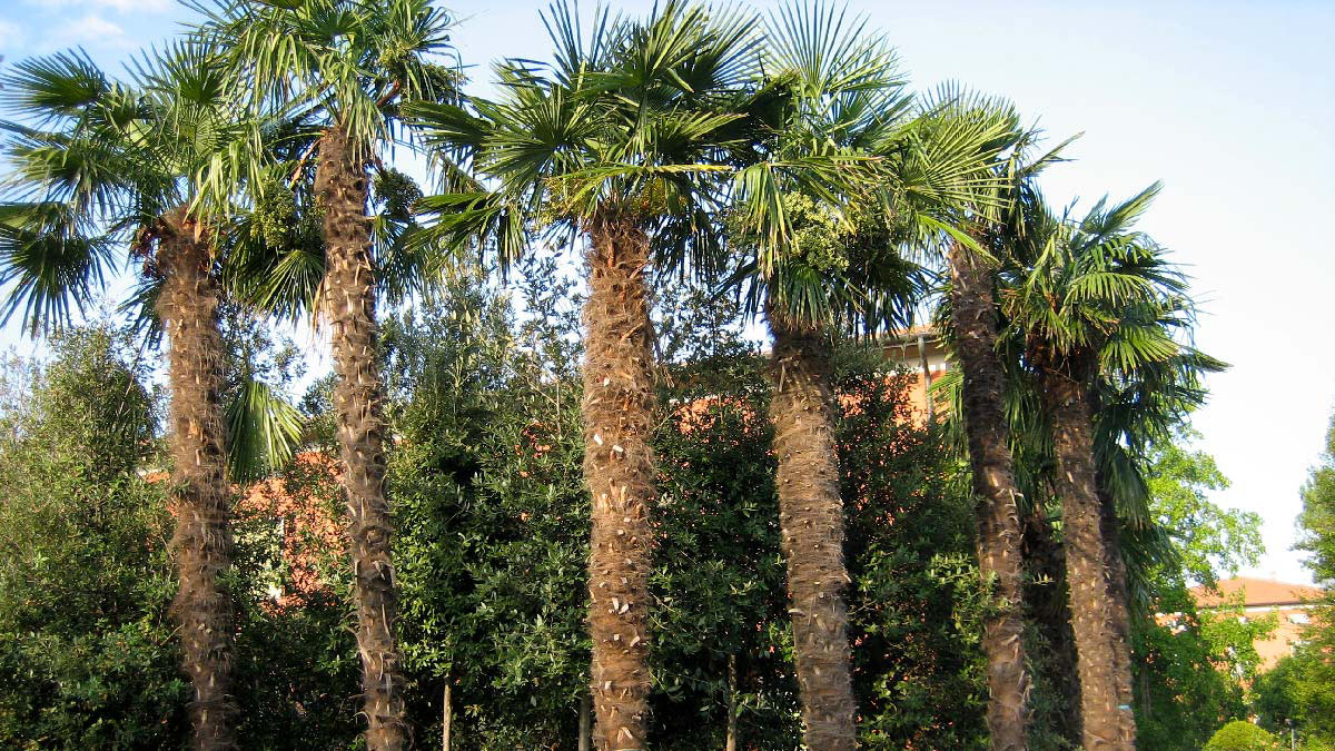 Trachycarpus-fortunei-palm-cultivation-Pistoia