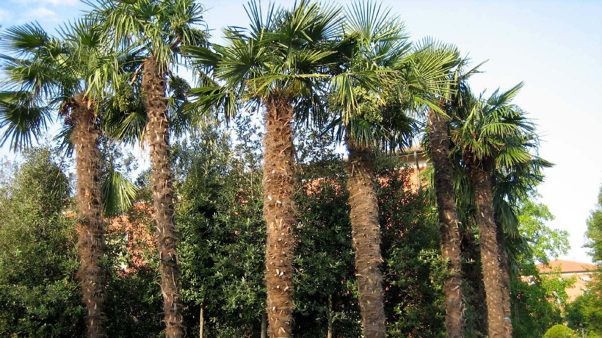 Trachycarpus-fortunei-palme-coltivazione-Pistoia