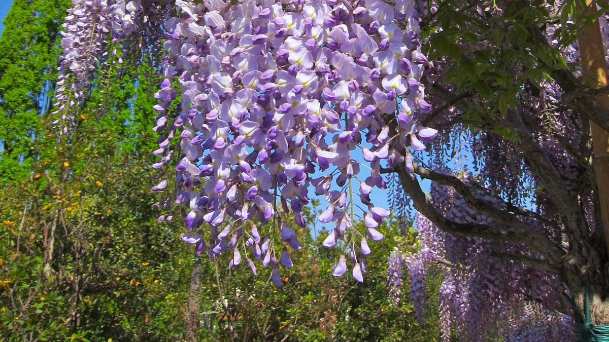 Wisteria-chinensis-selected-vines