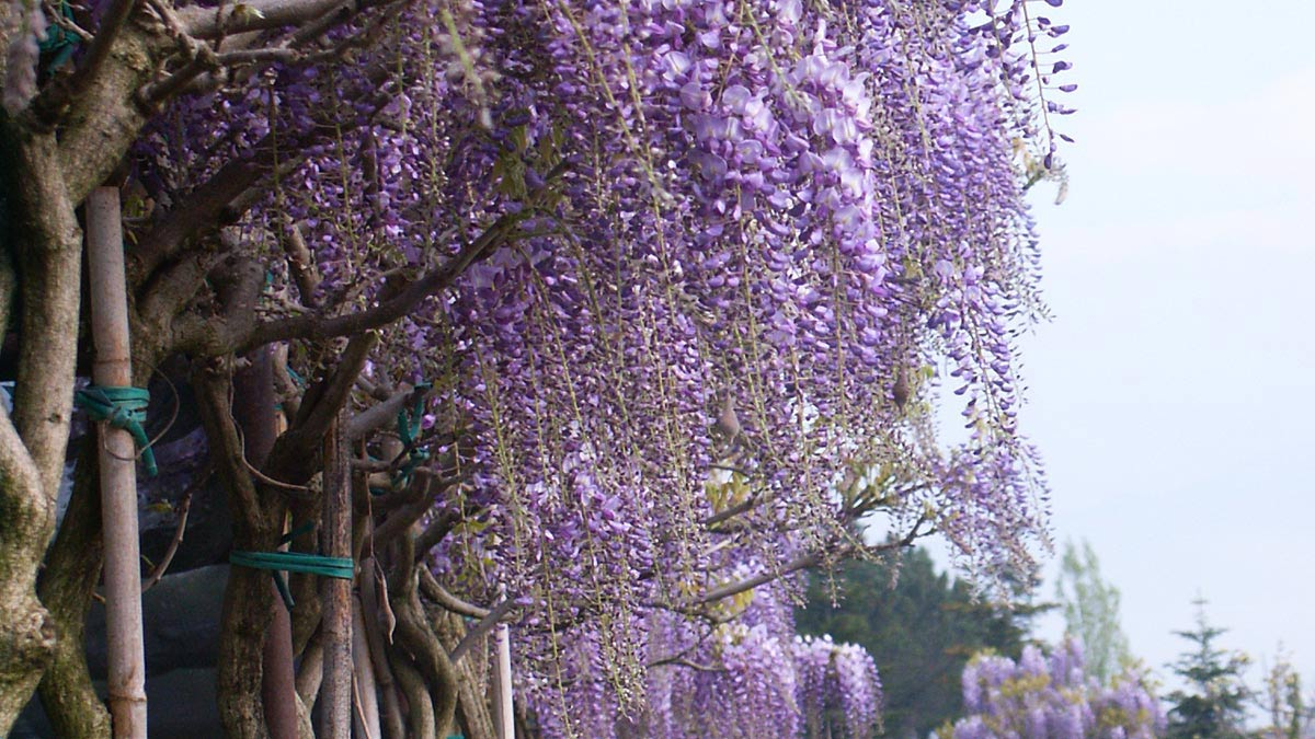 Wisteria-large-trees-specimens-MATI-1909