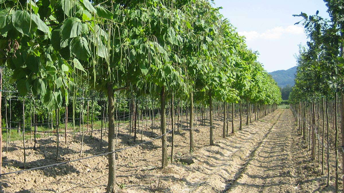 Baumplantagen-Anbau-Toskana