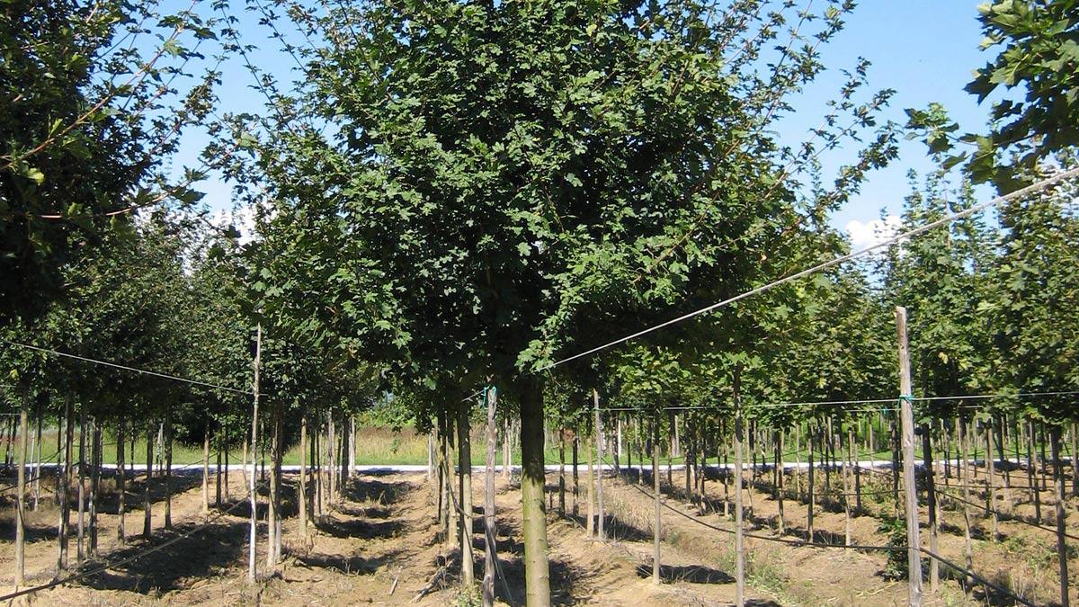 Baumplantagen-Verkauf-Pistoia