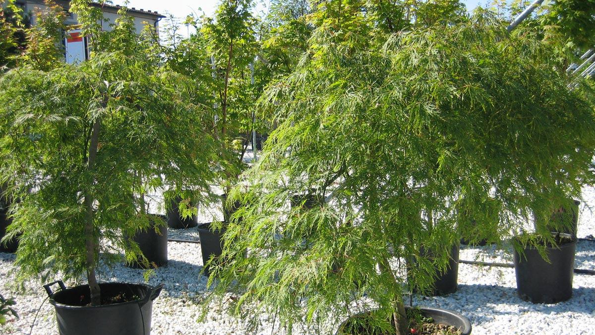 Bäume-Baumschule-Toskana