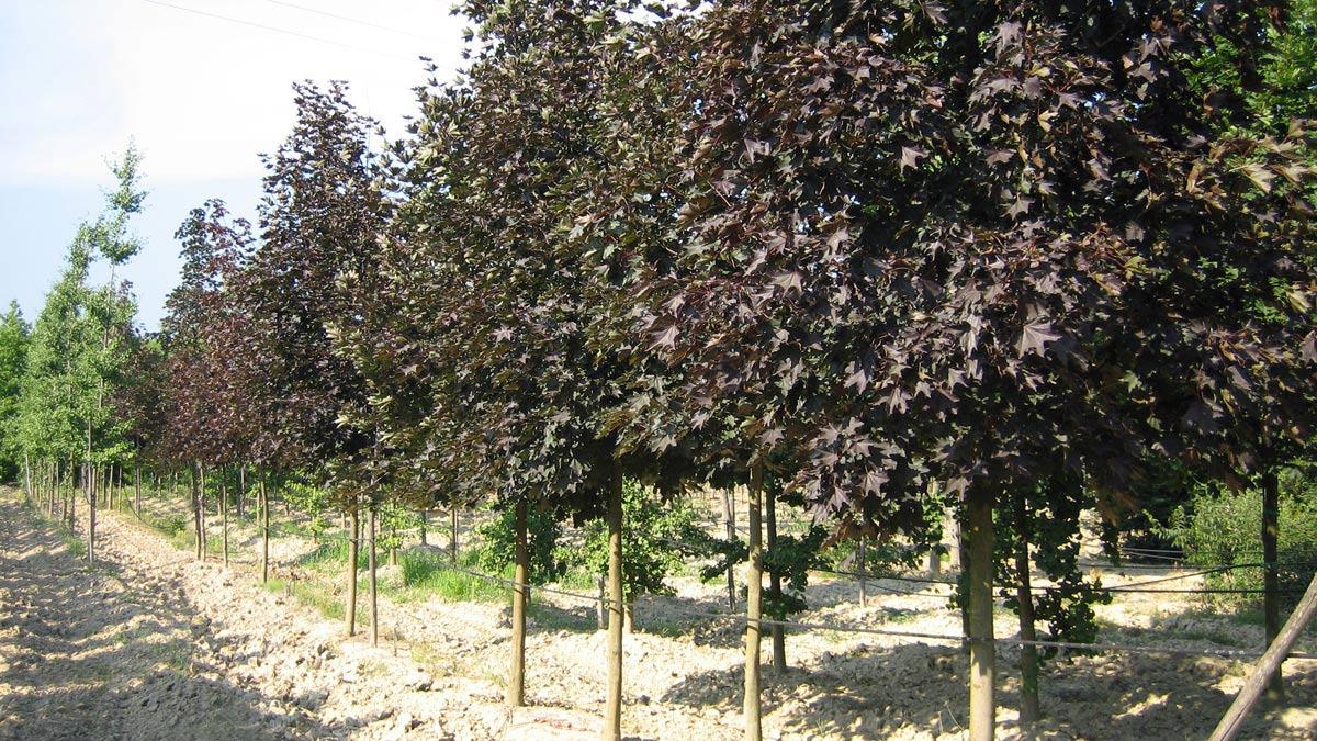 arbres- pépinière- Toscane
