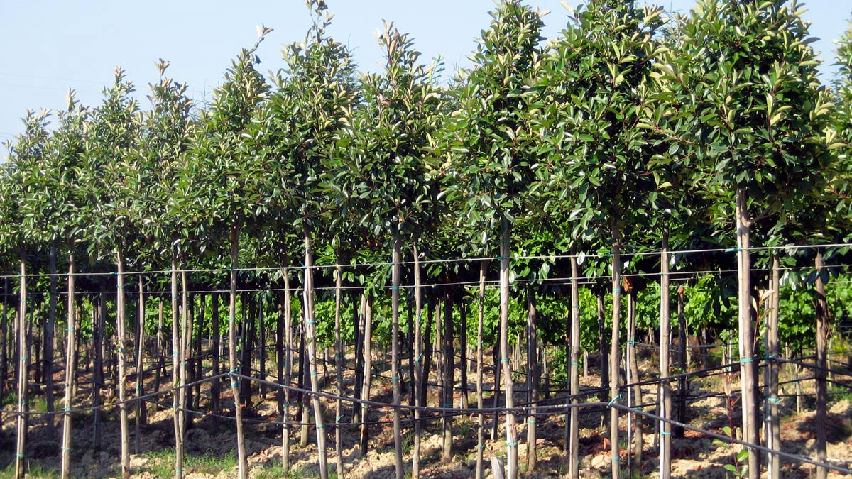 trees-for-gardens -Pistoia