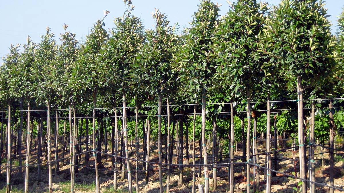 arbres - pour jardins- Pistoia