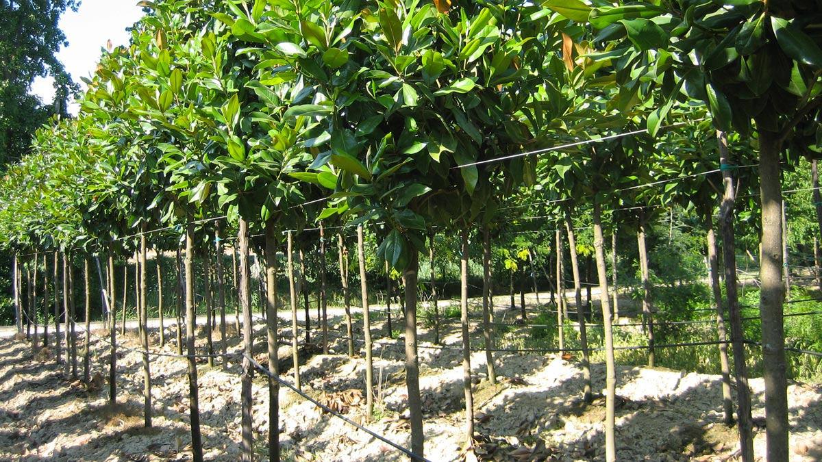 Selektierte-Bäume-in-Ballen
