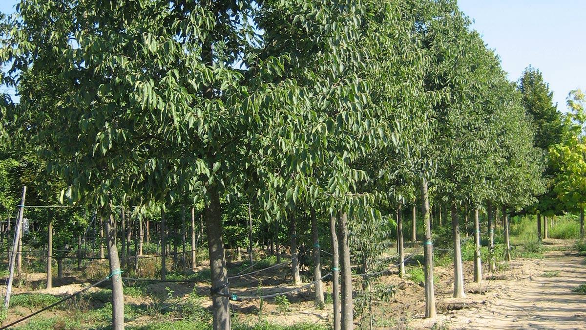 Selektierte-Bäume-Verkauf