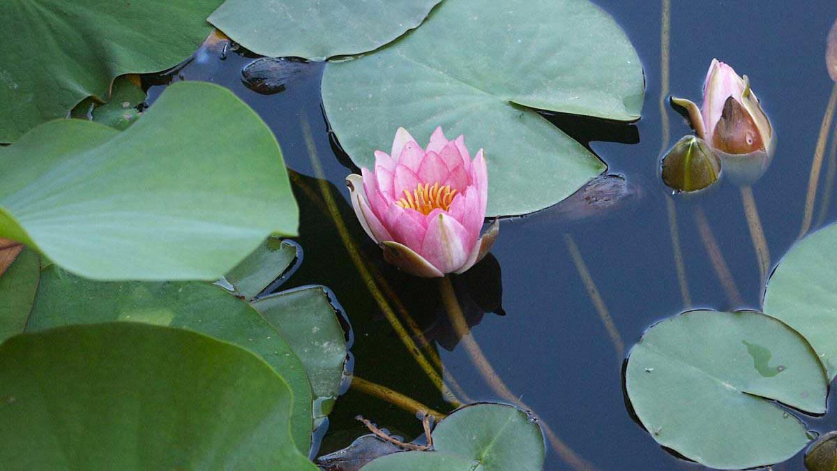 Seerosen-Blütenpflanzen-Wasserpflanzen-Süβgräser-Anbau-Pistoia