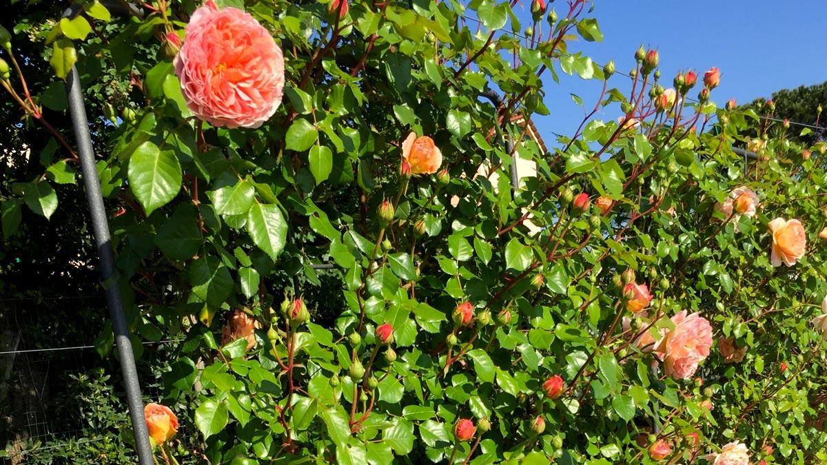 roses pépinière-Toscane