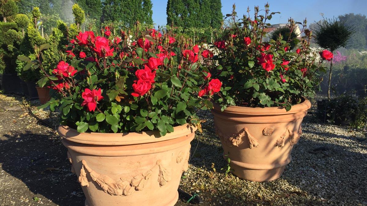 roses-pépinière-Pistoia