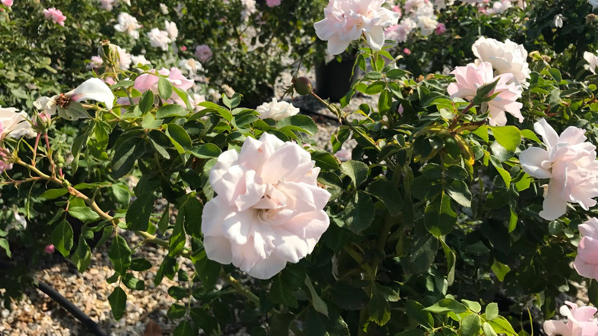 roses-grimpantes-retombantes-en arbuste