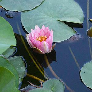 Staudenblumen, Blütenpflanzen, Wasserpflanzen und Süßgräser-Baumschule
