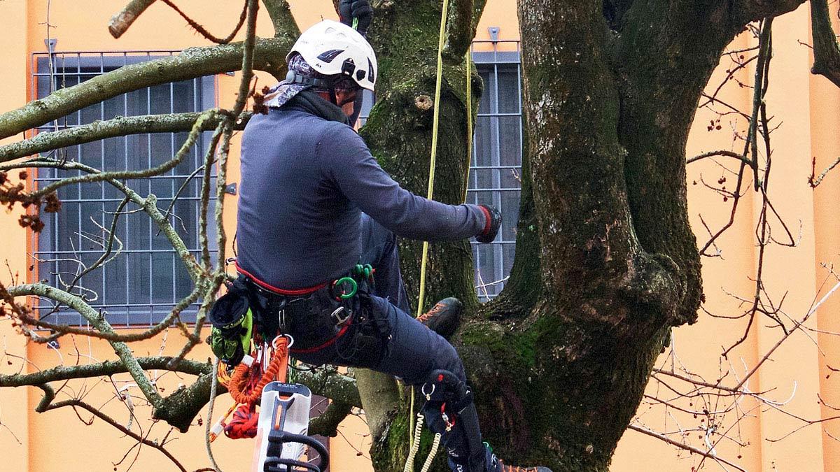 tree-climbing-Mati-1909