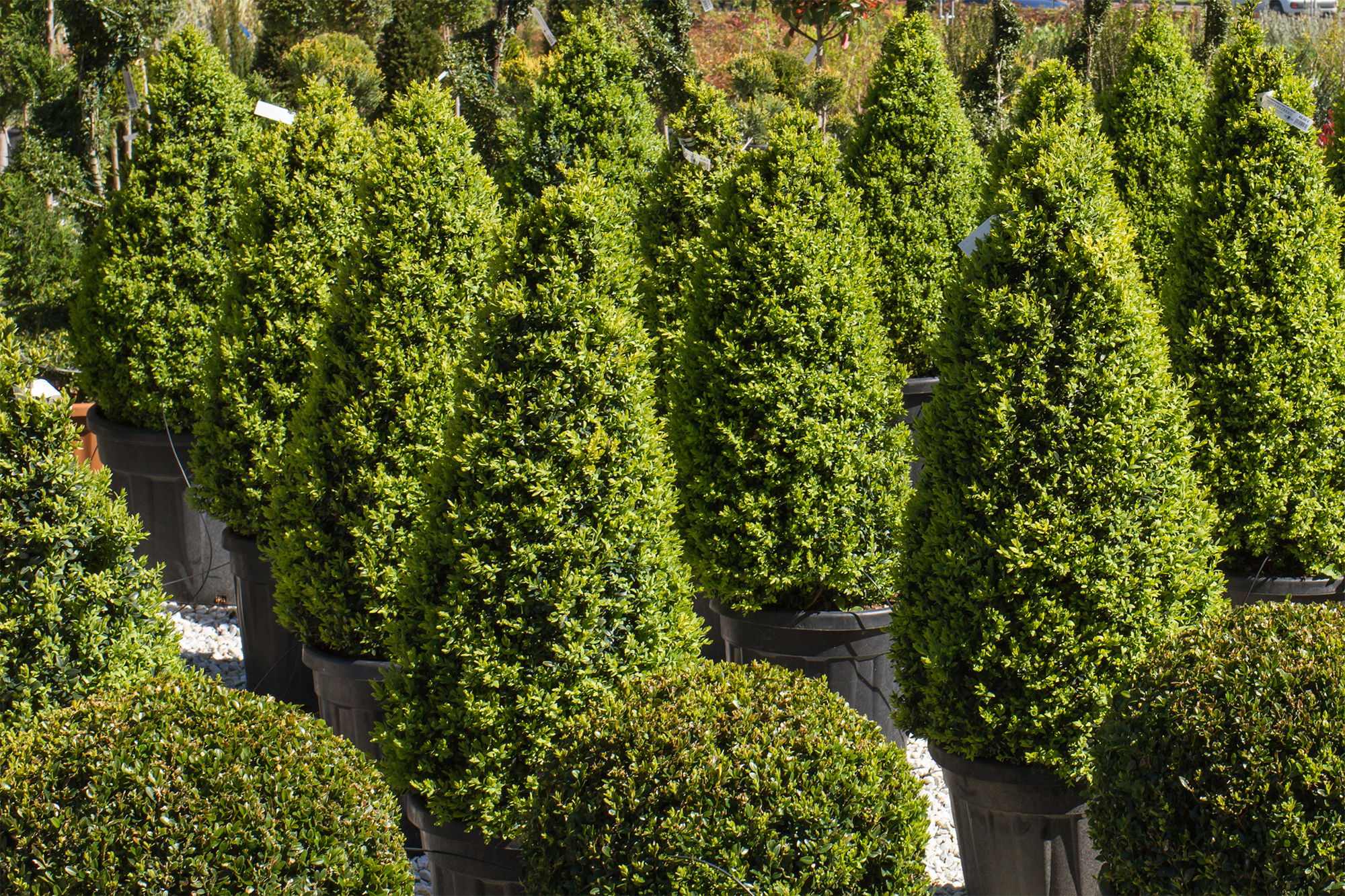 Buxus-a-forma