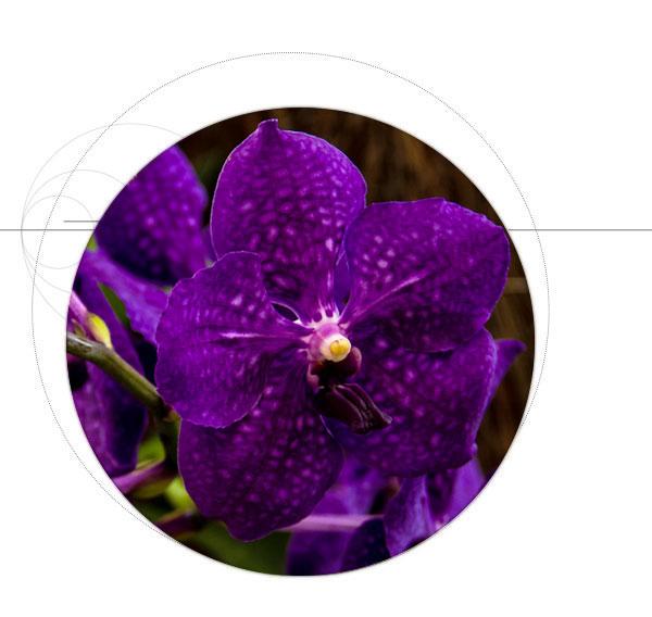 orchidea-viola